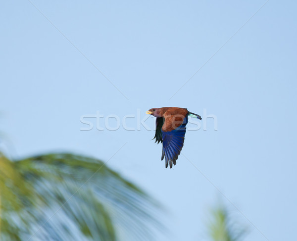 Broad-billed Roller and Palms Stock photo © suerob