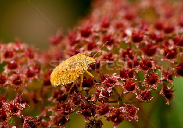Green Shield Bug yellow morph Stock photo © suerob