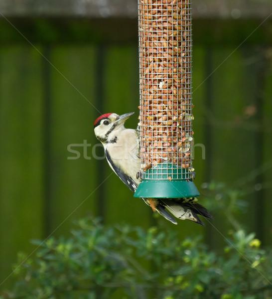 Nagyszerű juvenilis baba természet nyár madár Stock fotó © suerob