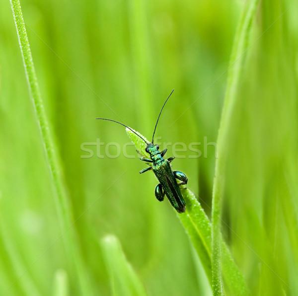 カブトムシ マクロ ショット 男性 昆虫 葉 ストックフォト © suerob