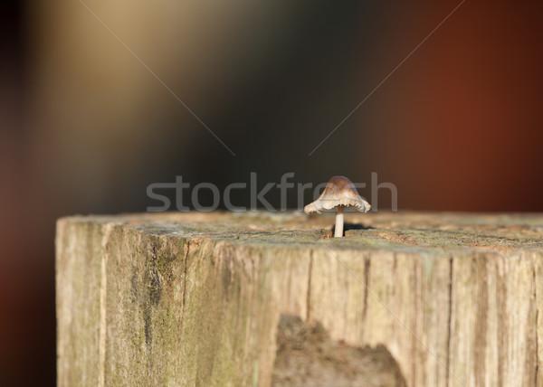 Toadstool in Sunlight Stock photo © suerob
