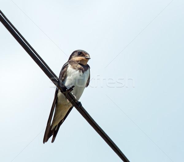 Foto stock: Celeiro · imaturo · pássaro · arame · temporada