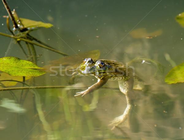 лягушка пруд Гамбия лист путешествия Сток-фото © suerob