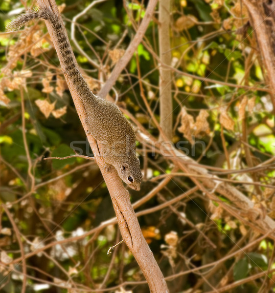 Gambian Sun Squirrel Stock photo © suerob