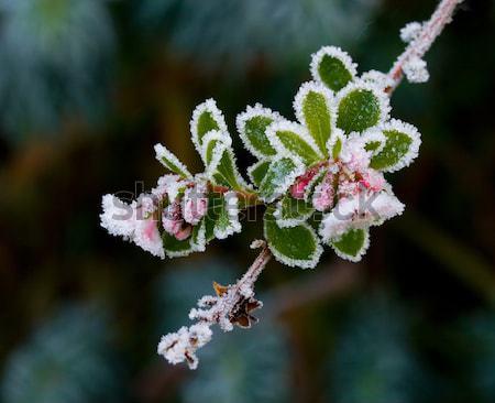 Don pembe çiçekler kapalı kış Stok fotoğraf © suerob