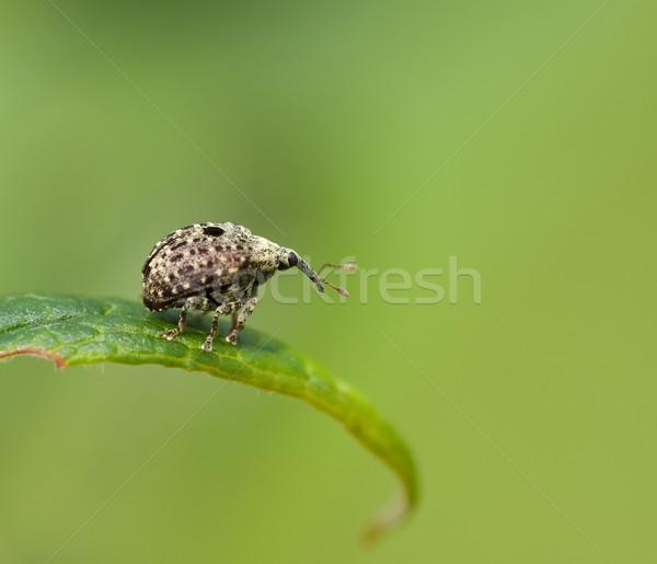 Weevil Cionus hortulanus on leaf  Stock photo © suerob