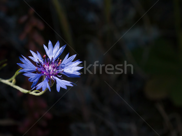 Stock photo: Cornflower With Copy Space