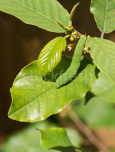 Papillon Caterpillar jaune nature feuille vert Photo stock © suerob