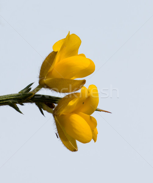 Stock photo: Yellow Gorse Flowers against Sky