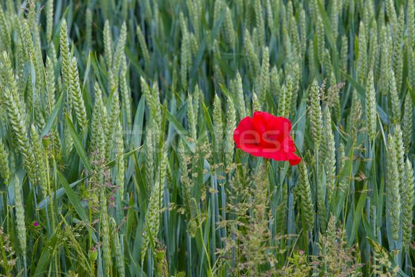 Papoula campo de trigo direito crescente sussex Foto stock © suerob