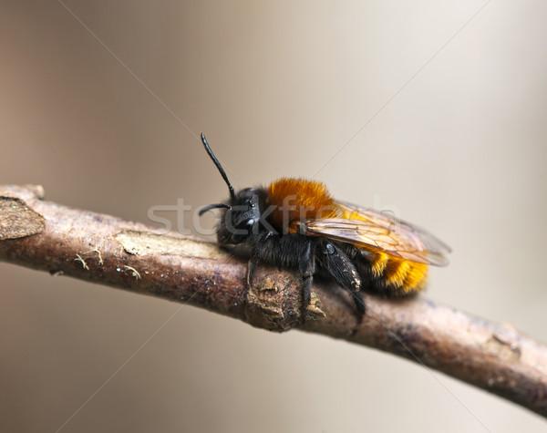 Tawny Mining Bee Stock photo © suerob