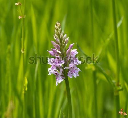 Common Spotted Orchid Stock photo © suerob