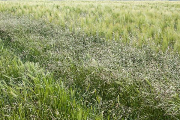 Cereal campo texturas três diferente Foto stock © suerob