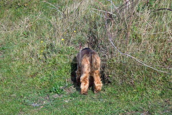 English Cocker Spaniel Puppy Head Down Rabbit Hole Stock photo © suerob