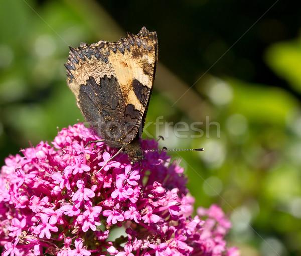 Small Tortoiseshell butterfly underwing Stock photo © suerob