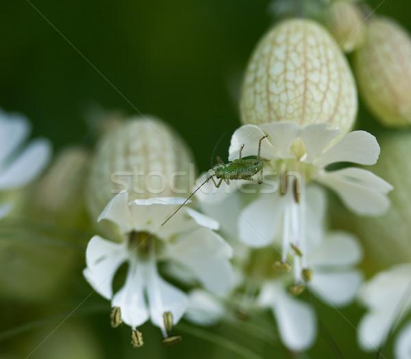 Speckled Bush Cricket on Bladder Campion Stock photo © suerob