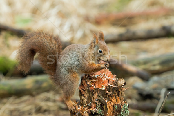 Red Squirrel with Hazel Nut Stock photo © suerob