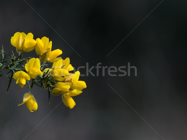 Gorse Flowers with Copy Space Stock photo © suerob