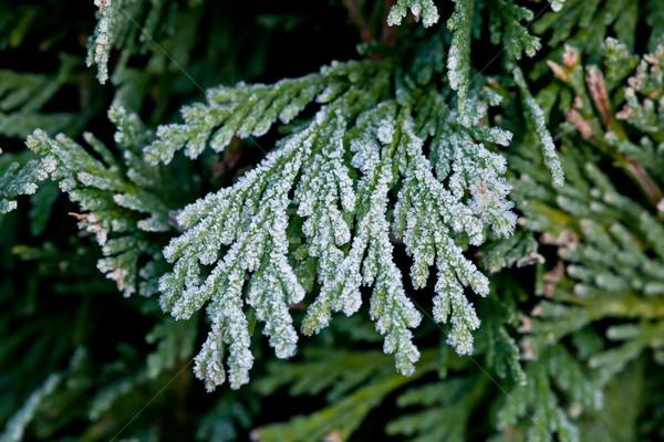 Frost on Hedge Stock photo © suerob
