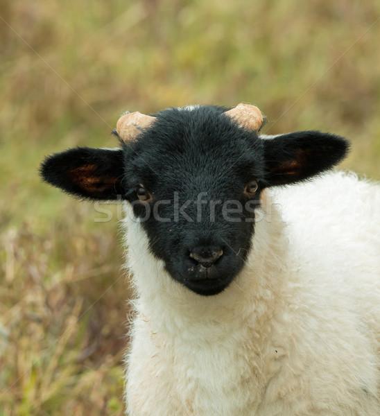 Koyun kuzu yaz çiftlik Stok fotoğraf © suerob