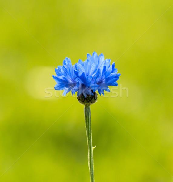 Búzavirág kék zöld fű természet zöld Stock fotó © suerob