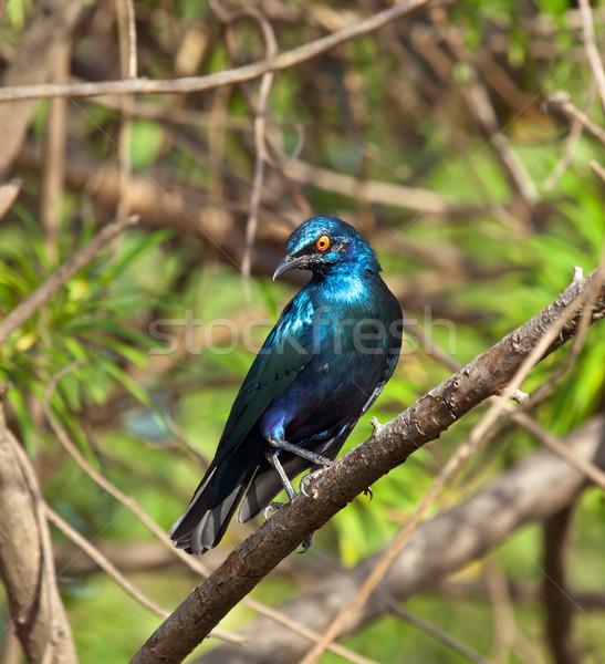 Lesser Blue-eared Glossy Starling Stock photo © suerob