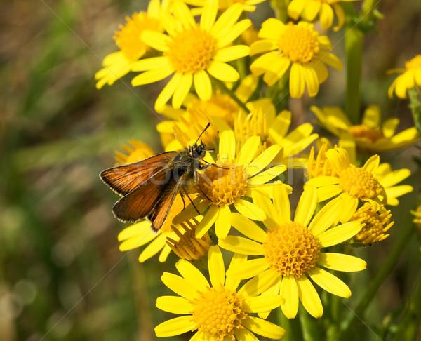 Small Skipper butterfly Stock photo © suerob