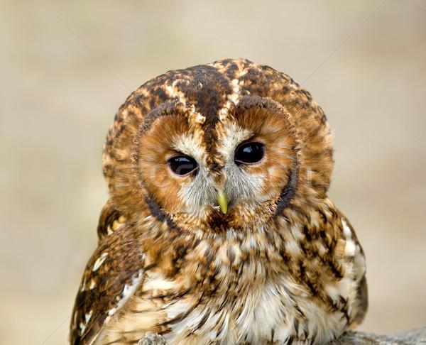 Tawny Owl head shot Stock photo © suerob