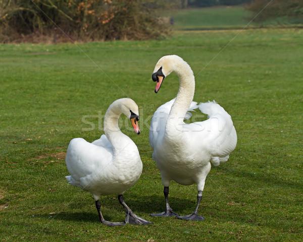 Mute Swans mated pair Stock photo © suerob