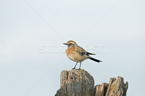 Desert Wheatear Stock photo © suerob