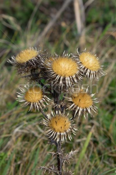 Fleur laisse usine Angleterre rive semences Photo stock © suerob