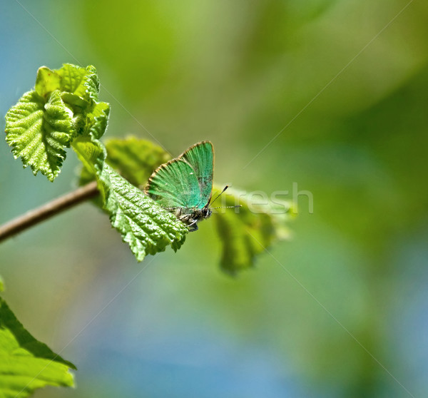 Green Hairstreak Butterfly Stock photo © suerob
