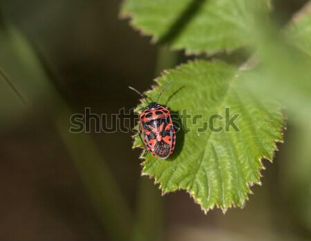 Ornate Shield Bug Stock photo © suerob