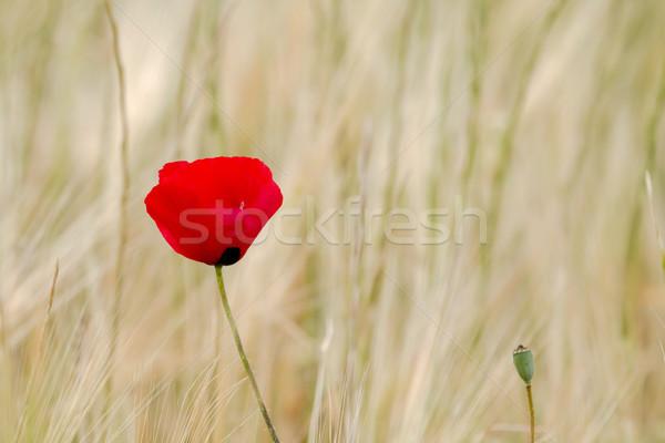 Domaine pavot lumière rouge Photo stock © suerob
