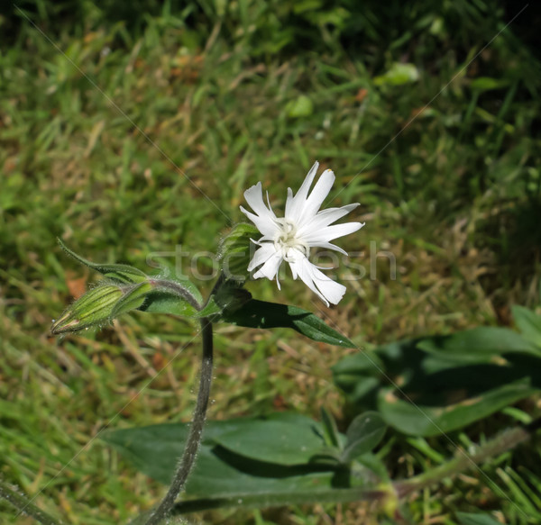 Stock photo: White Campion Wild Flower