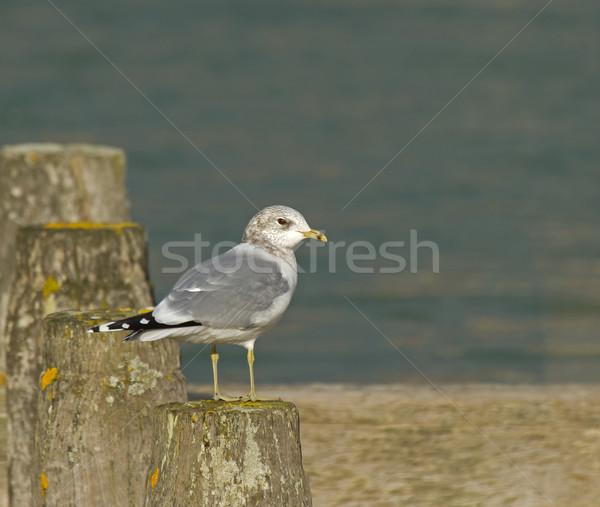 зима оперение морем океана птица Англии Сток-фото © suerob