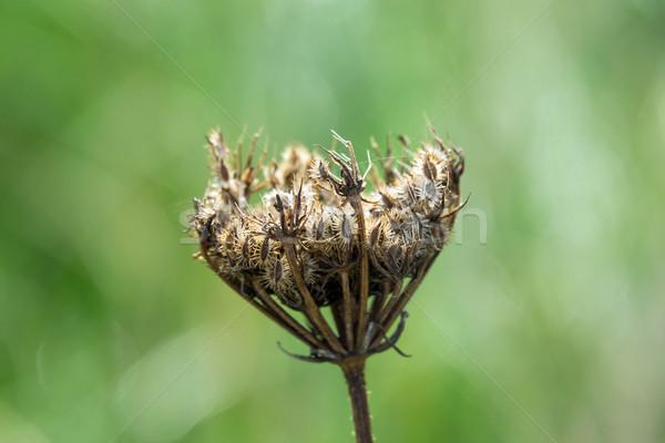 Stock photo: Umbellifer Seed Head