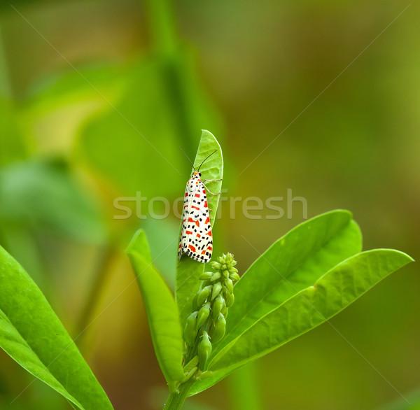 Crimson-speckled Footman Moth Stock photo © suerob