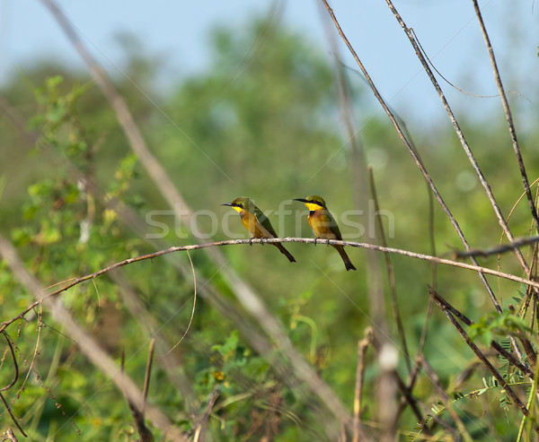 Stock photo: Little Bee-eaters