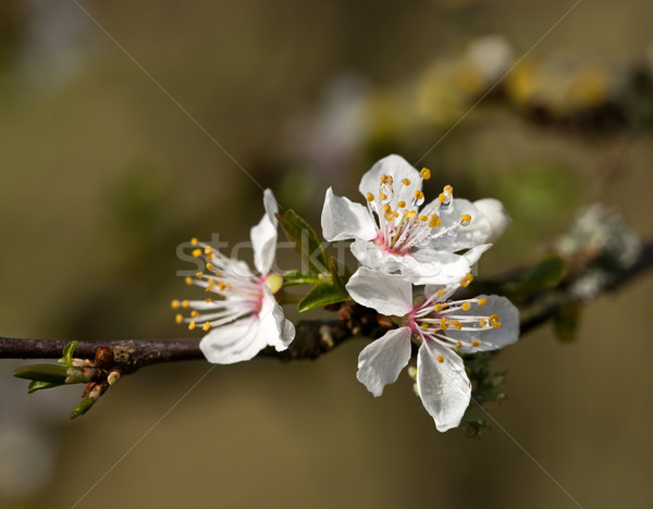 White Blossom with raindrops Stock photo © suerob