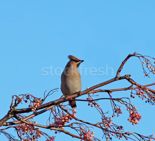 Bohemien Baum schauen Beeren Winter Migration Stock foto © suerob