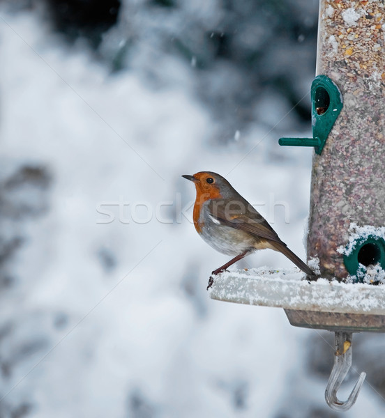 Robin and Snow Stock photo © suerob