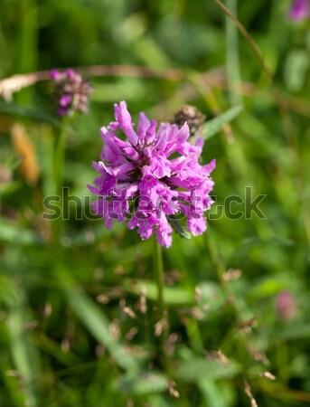 Croissant craie fleur nature Photo stock © suerob
