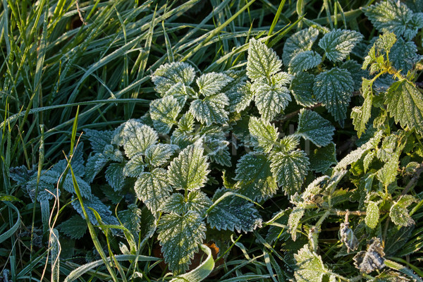 Frost on Nettles Stock photo © suerob