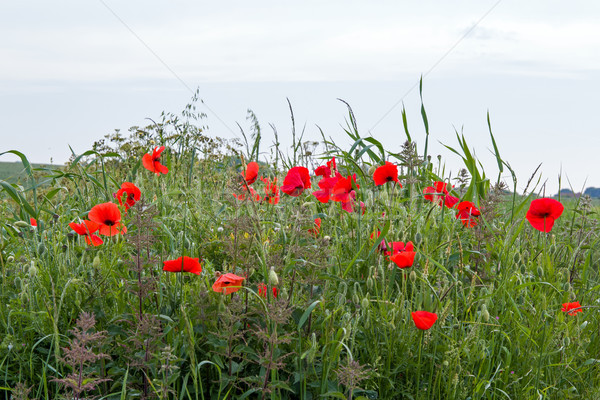 Poppies on South Downs Stock photo © suerob