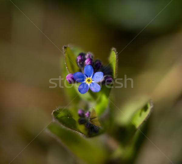 çiçek makro atış derin mavi kır çiçeği Stok fotoğraf © suerob