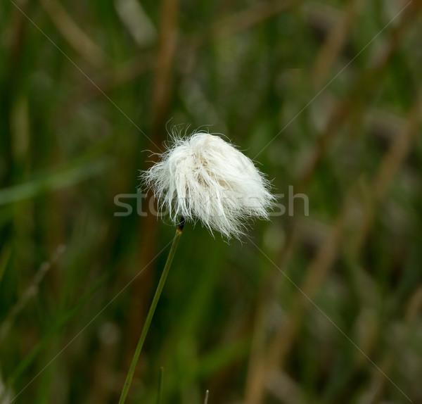 Cotton Grass Stock photo © suerob