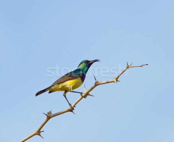 Variable Sunbird Stock photo © suerob