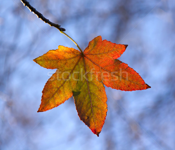 Automne feuille sweet gomme Photo stock © suerob