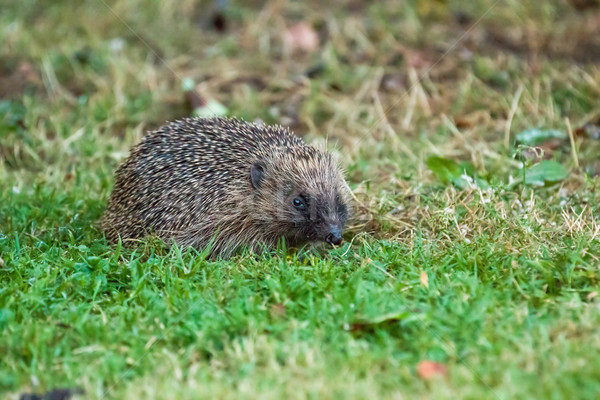 European Hedgehog Stock photo © suerob